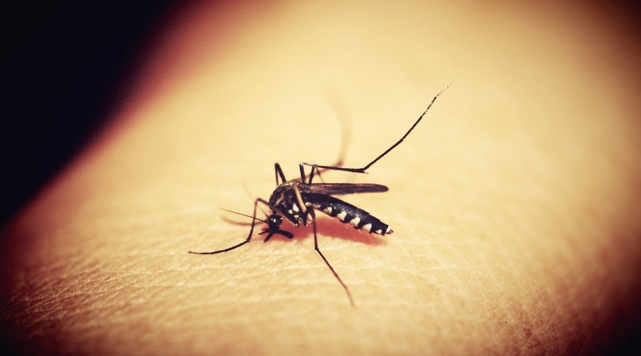 A mosquito on human skin biting.