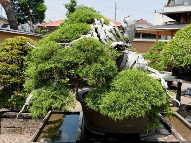 Juniper Bonsai tree in a elevated garden surrounded with several other bonsai trees