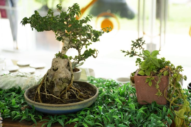 Sequoia Bonsai Tree Everything You Need To Know