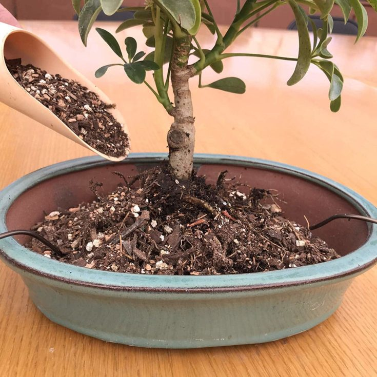 Spreading fertilized soil at the side of the potted bonsai tree