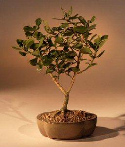 Dwarf Apple Bonsai Tree