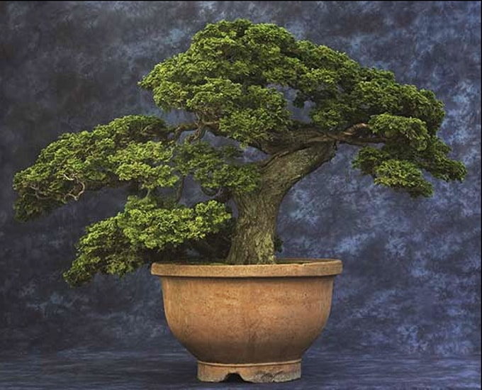 Chabo-hiba'Hinoki cypress tree planted in a round and large pot situated in an area with a messed up dark blue and white as background