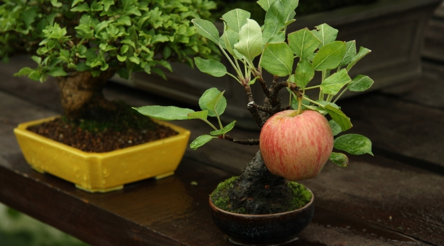 Bonsai Apple Trees A Guide To Compact Fruit Tree Care