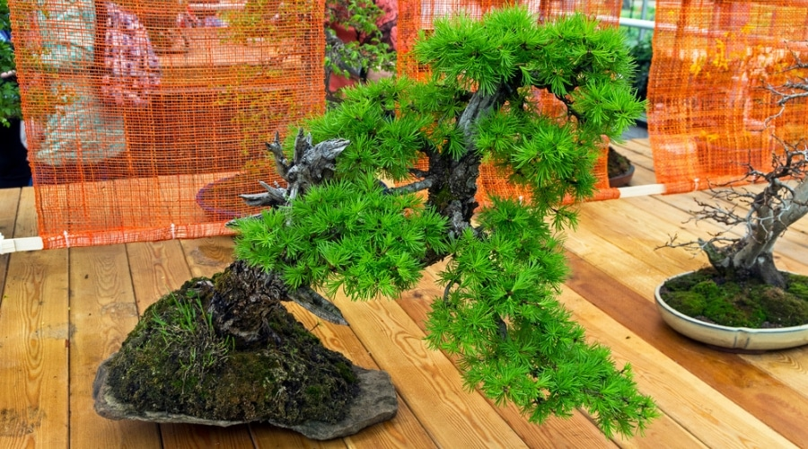 Swell Larch Bonsai Growth And Care Guide Wiring 101 Capemaxxcnl