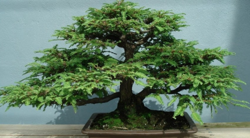 Featured Image - The Best Source on Sequoia Bonsai Trees