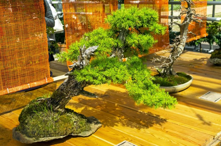 An Inclined Larch Bonsai
