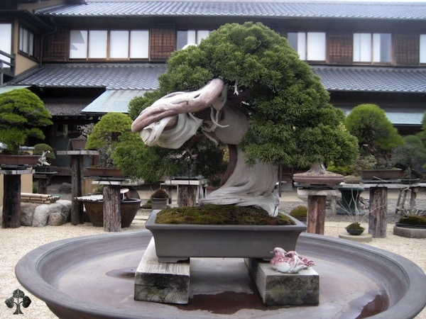 Bonsai Tree on a rectangular gray pot placed on a log of wood as its base with several other bonsai trees on the background and an elegant vintage house