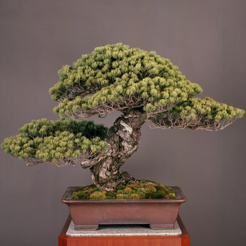 Sandai Shogun no Matsu Bonsai tree situated in a rectangular clay pot with a grayish background wall