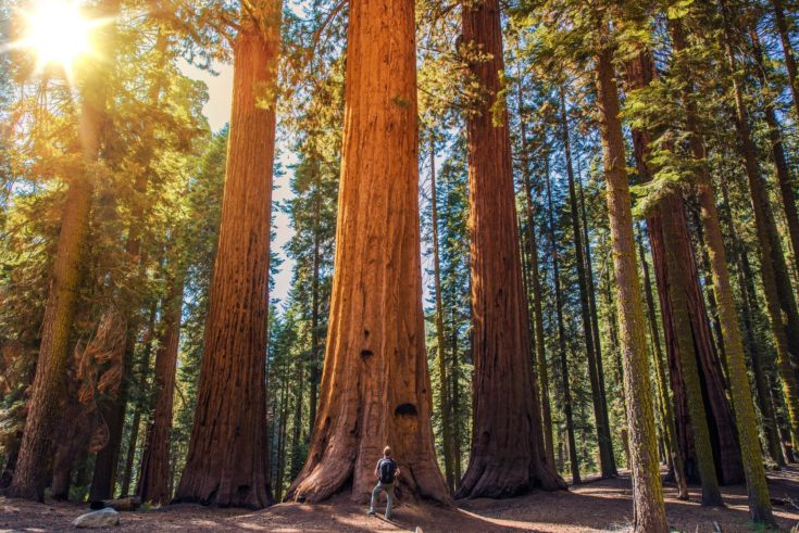 Man standing infront of Giant Sequoias Forest and the Tourist with Backpack Looking Up.