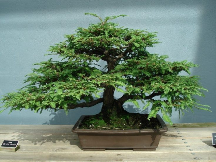 Displayed Redwood Bonsai Tree in a pot,put on the top of a wooden table.