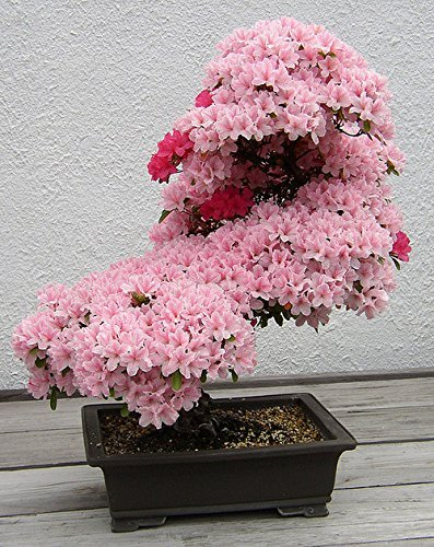 Pink flowering bonsai tree planted in a modern rectangular clay pot