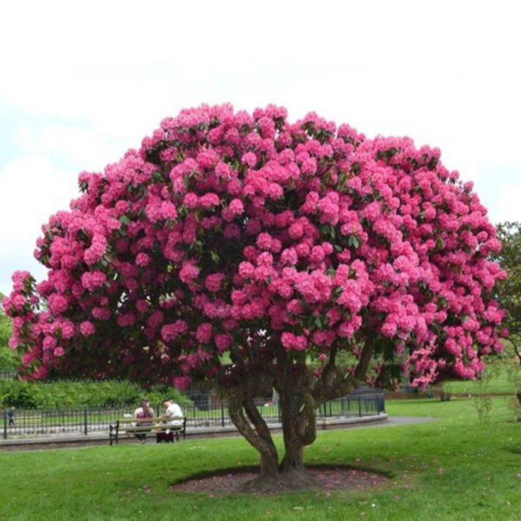 Large pink bonsai tree in a park with two people sitting on the bench in the background