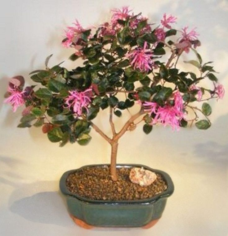 Indoor bonsai tree with cute elongated pink flowers planted in a small pot
