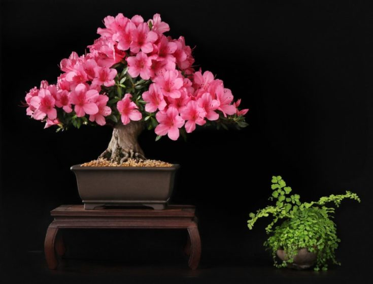 Azalea bonsai blooming with pink flowers planted in a modern type of rectangular pot elevated by a table like structure with another plant on a pot by its side in the plain ground
