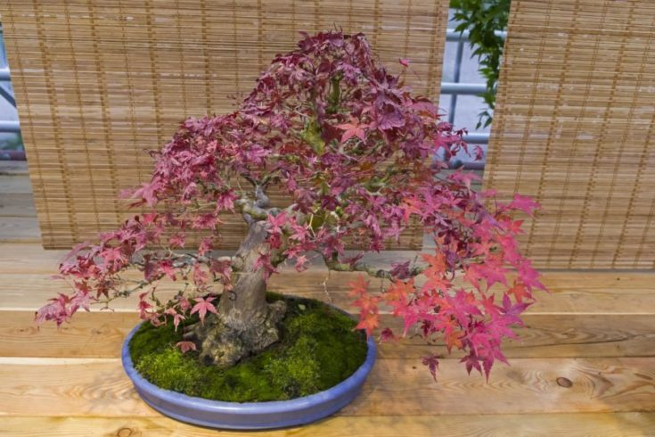 Bonsai - Japanese maple (Acer palmatum). Age - about 50 years. Exhibition of Bonsai in Aptekarsky Ogorod (a branch of the Botanical Garden of Moscow State University), Moscow, Russia, November 2017.
