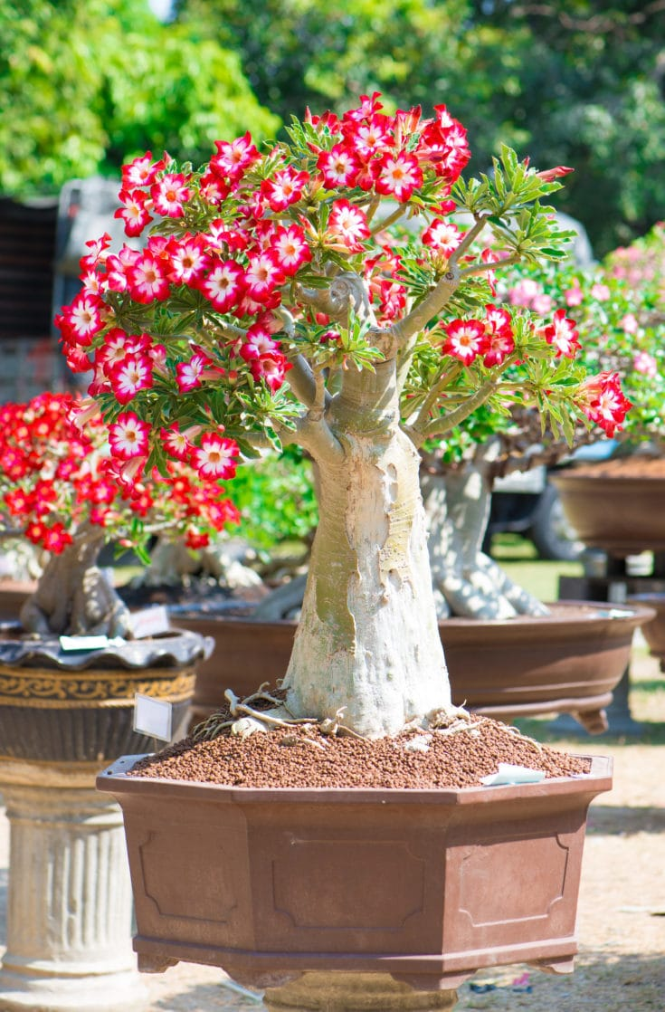 Outdoor planted bonsai tree with flowers colored with red on the edge of every petal and white from the center