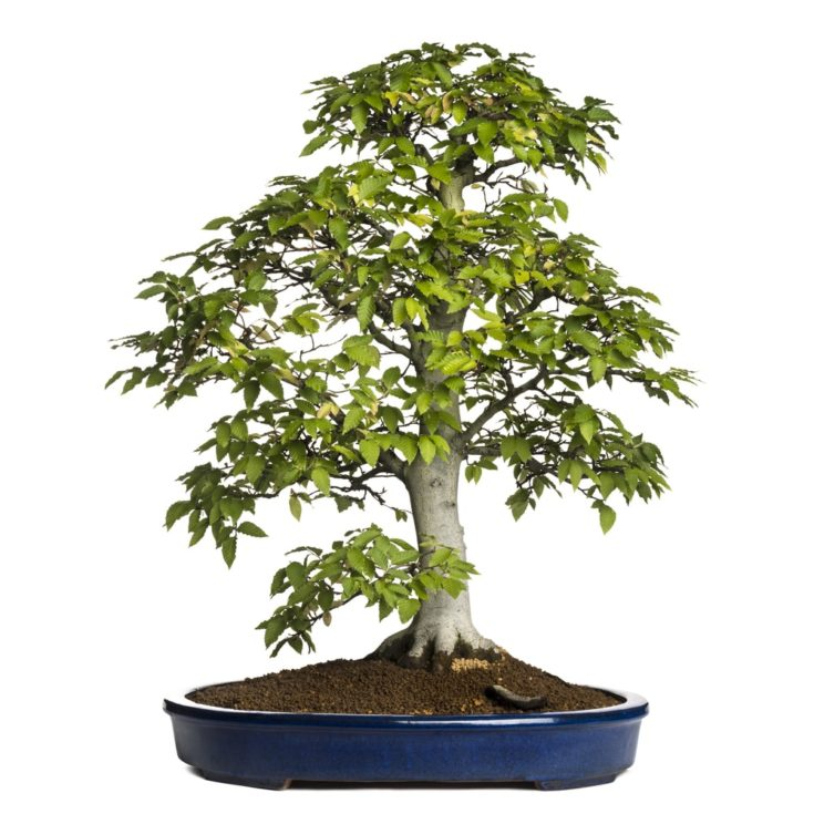 Beech bonsai tree, fagus sylvatica, isolated on white