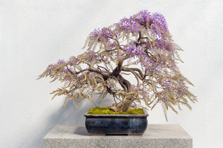 Bent trunk of bonsai tree and several branches with purple like leaves planted in a rectangular pot situated in a solid platform