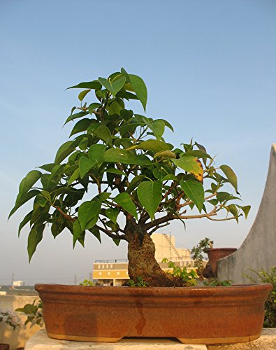 Bodhi Tree (Ficus Religiosa) Bonsai Tree Seeds, Fresh Rare Bonsai Tree Seeds.