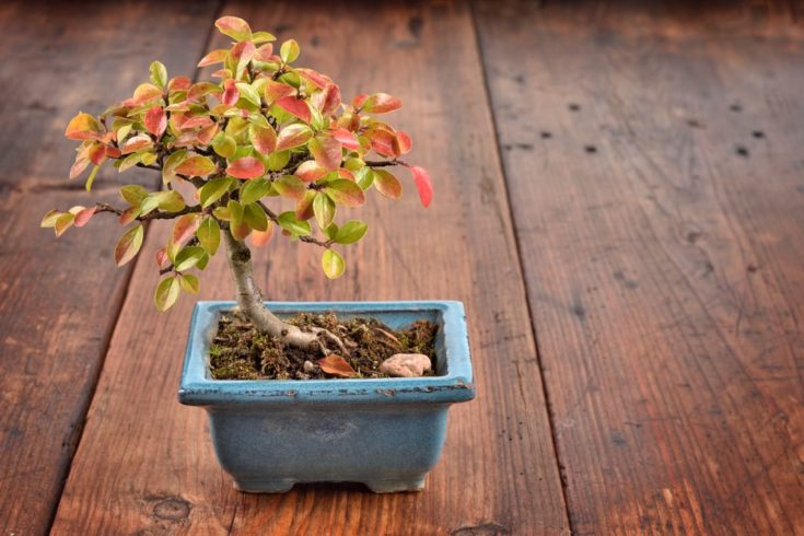 Small bonsai Cotoneaster integerrimus in blue ceramic pot on wooden background. Bonsai with autumn leaves.