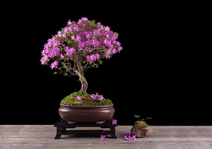 Purple flowering bonsai tree planted in a rounded pot and a rock on the pavement beside it