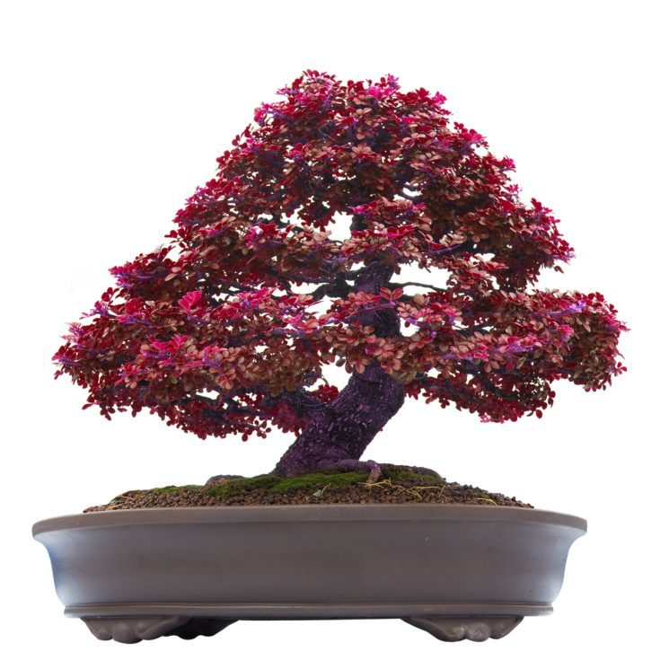Maroon colored leaves of a bonsai tree planted in a large elliptical modern pot