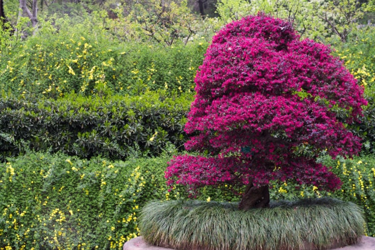 Large bonsai blossoming in maroon colored flowers situated outdoor with bush on the background