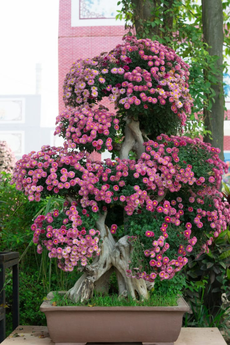 Large bonsai tree with many pink flowers situated outside