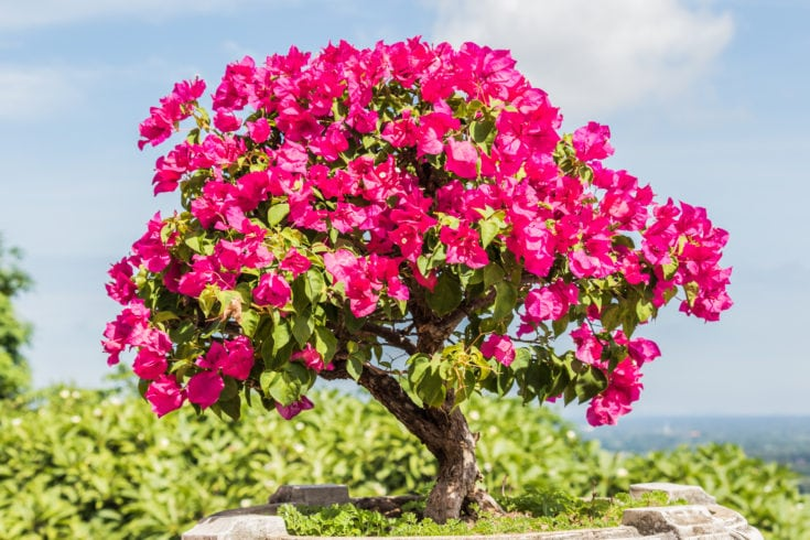 Pink flowering bonsai tree planted in a brick made round pot