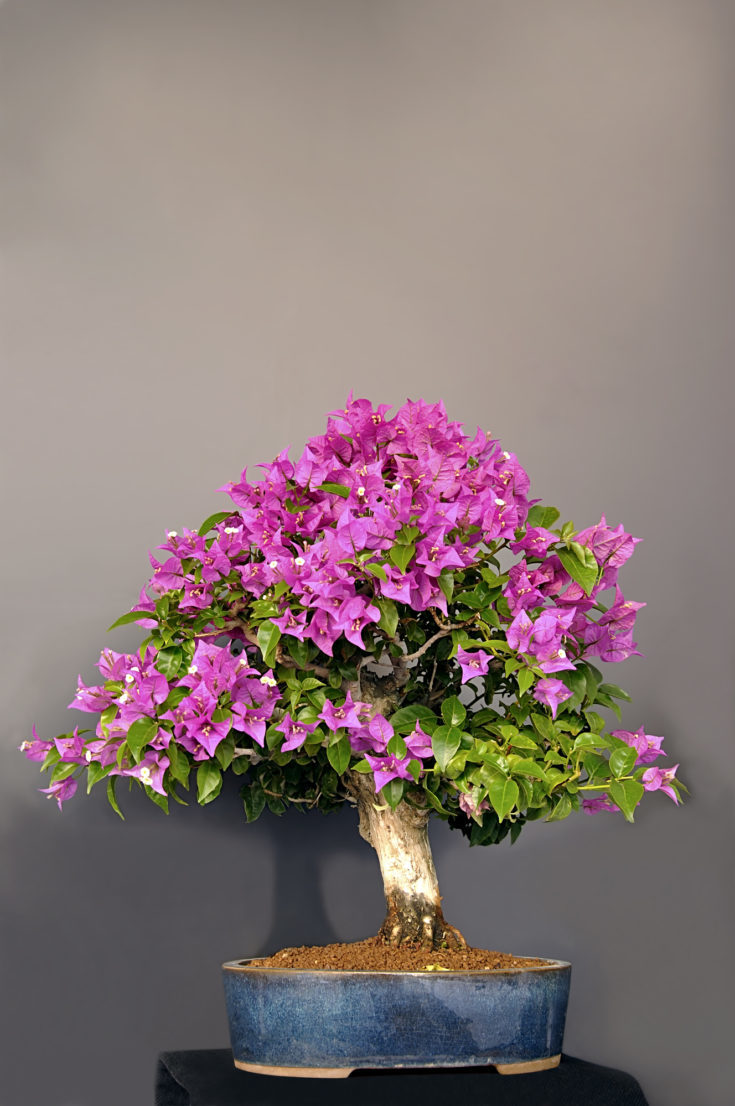 Purple bougainvillea bonsai tree planted in a small elliptical pot
