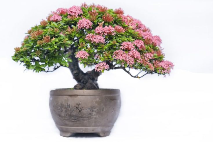 Bonsai planted in a vintage type of rounded pot blooming in pinkish flowers