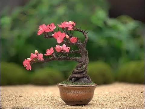 Little bonsai tree with twisted trunk and branches pointing to the left blooming with pink flowers