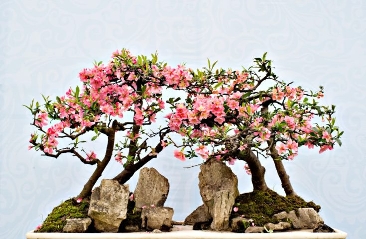 Bonsai pink flowering reaching for each one situated in a landscape with rocks