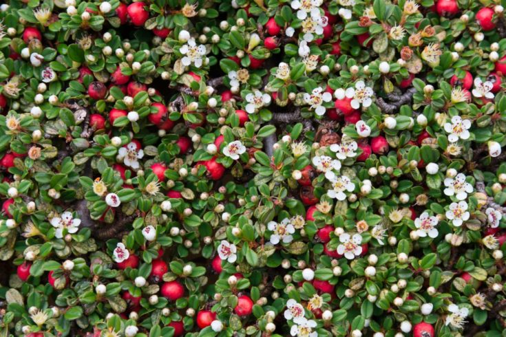 Cotoneaster bush with white flowers and red berries.