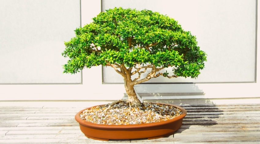 Larch Bonsai Growth And Care Guide