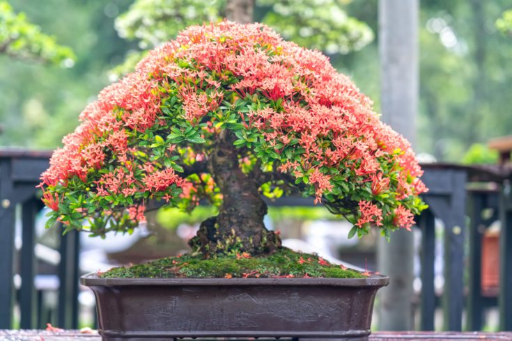 Salmon pink flowering bonsai tree planted in a modern rectangular pot outside