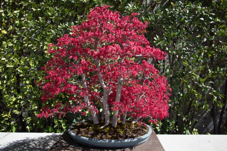 Maroon colored leaves of a bonsai tree with white trunk planted in a round flat surface