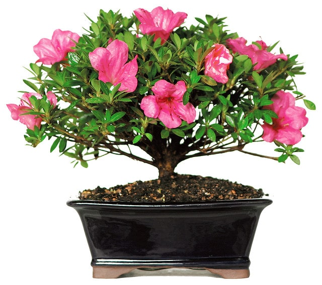 Small bonsai tree blooming with pink flowers planted in a shiny rectangular shaped pot