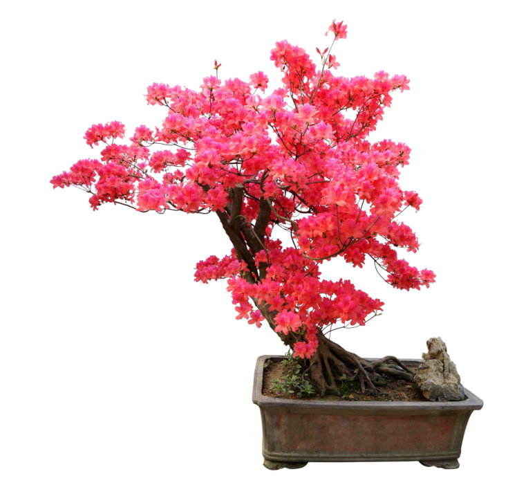 Slanting trunk of a pink flowering bonsai tree planted in a rectangular old pot