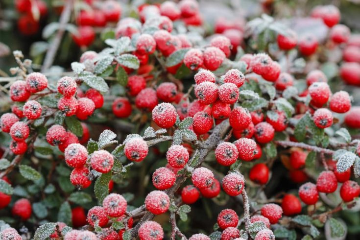 Red berries (cotoneaster horizontalis) under frost. Winter plant. Selective focus