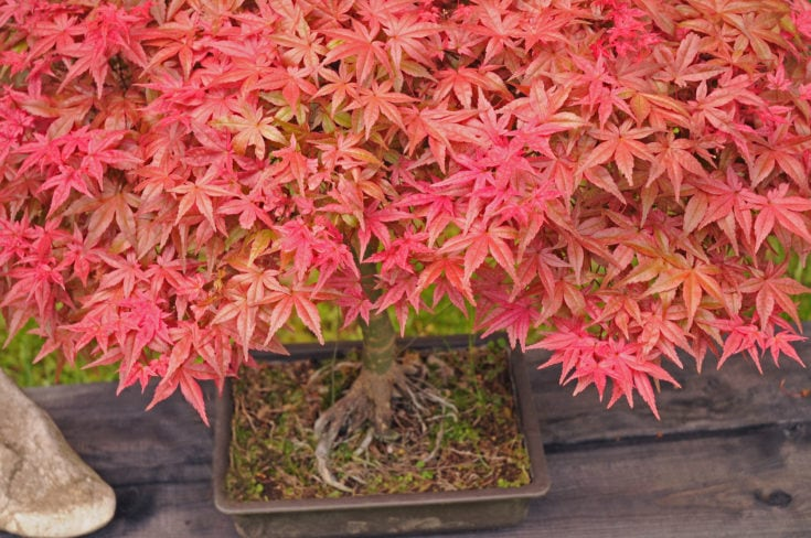 Salmon pink colored leaves of little bonsai tree planted in a rectangular pot