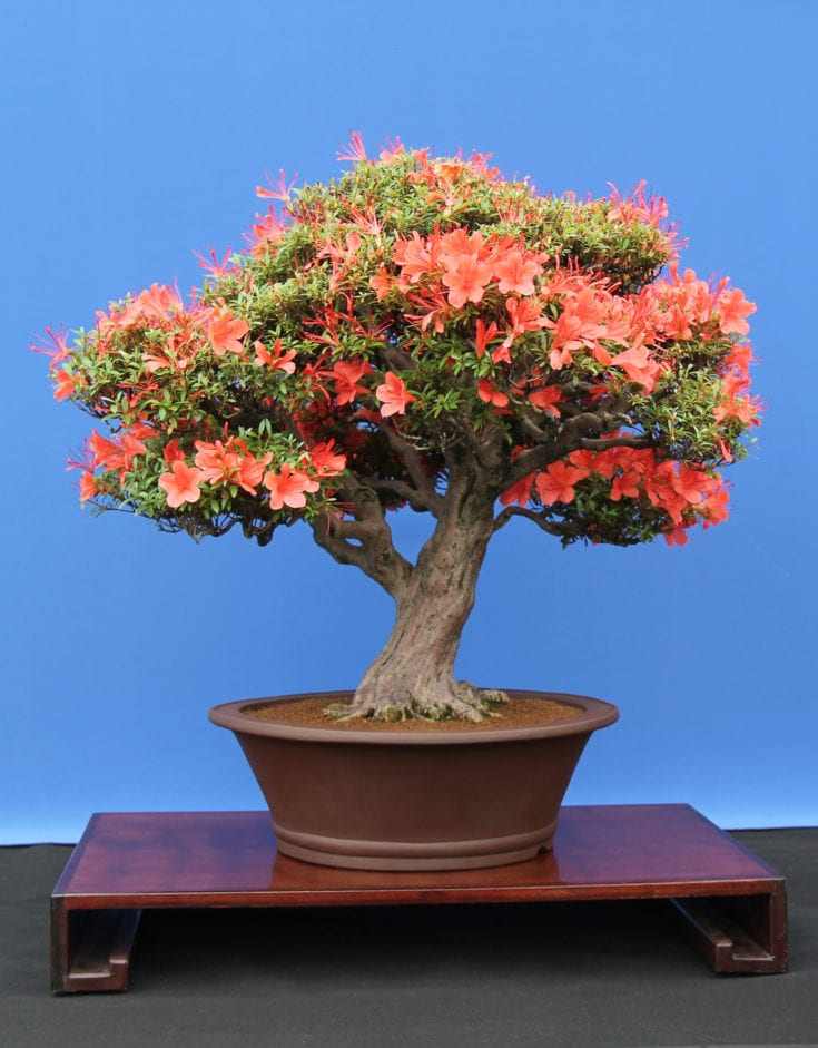 Bonsai tree planted in a modern rounded pot situated in a solid platform blooming in orange flowers