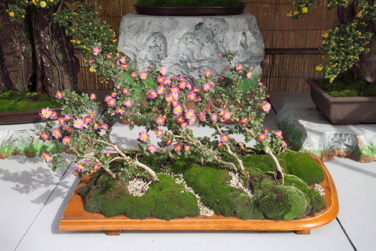 Several flowering bonsai with slant trunks situated in a wooden platform with two flowering bonsai on the background