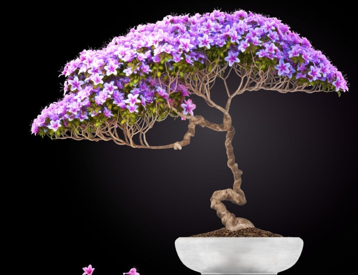 Twisted trunk of purple flowering bonsai tree planted in a rounded white pot
