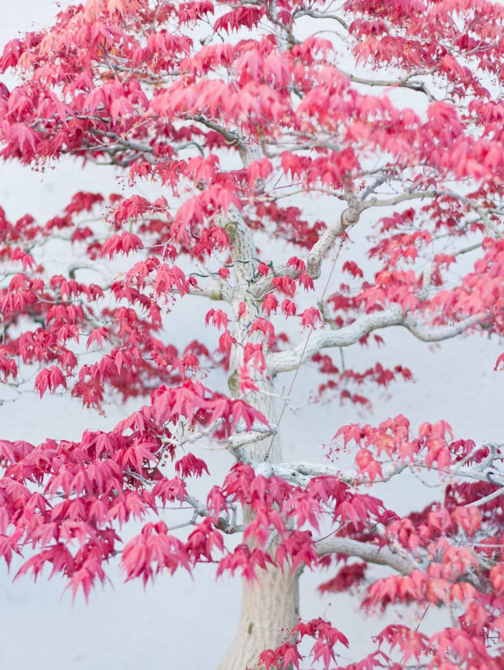 Tall bonsai tree with pink leaves and a white trunk and branches