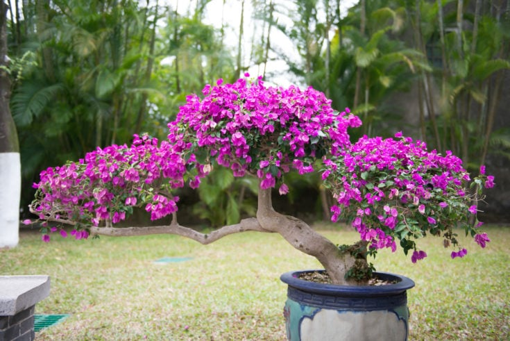 Slanting bonsai trunk blossoming in purple colored flowers planted in a pot situated outside