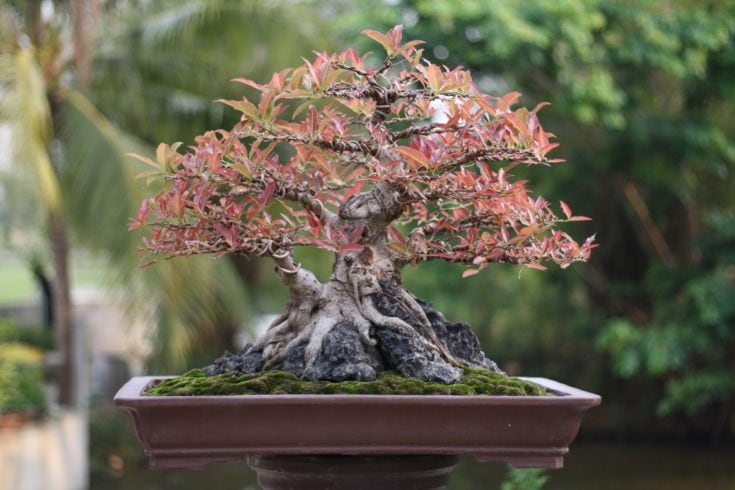 Small bonsai tree planted in a old rectangular pot situated in a high elevation