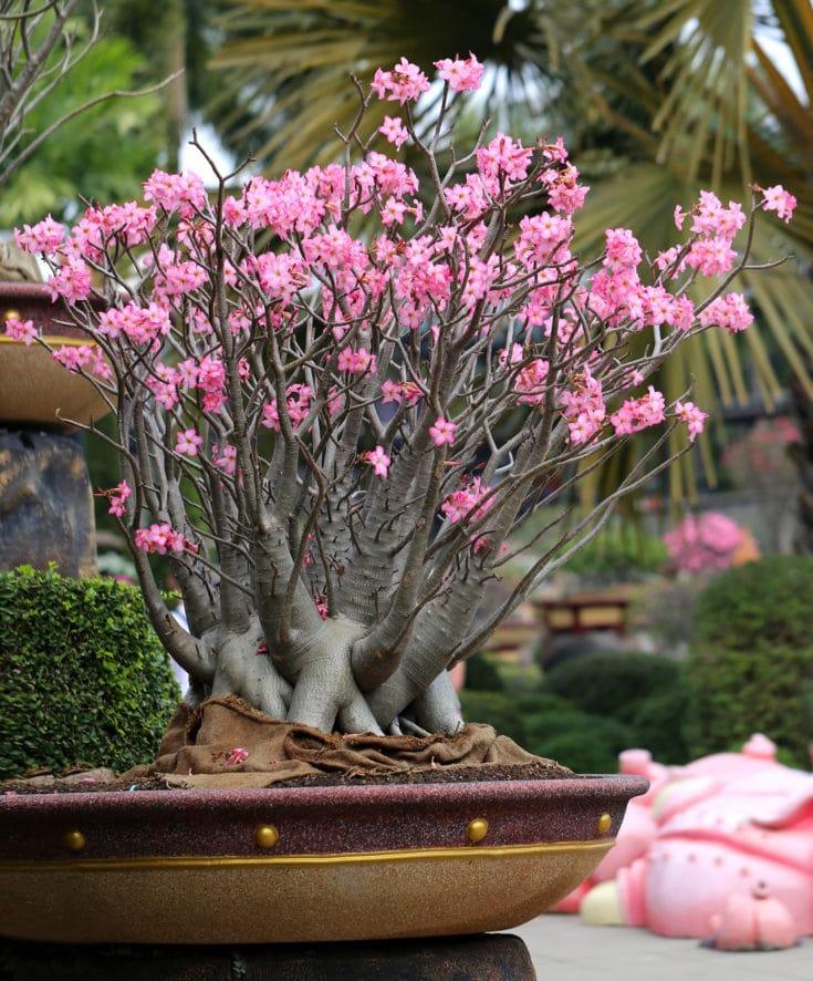 Grown bonsai tree with several branches blossoming with pink flowers situated outside