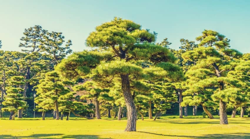 13 Pics of Amazing Giant Bonsai Trees