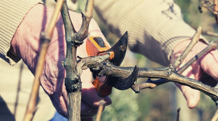 How To Prune Your Grapevine